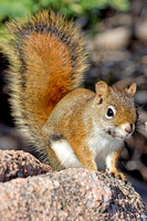 6527_Red Squirrel